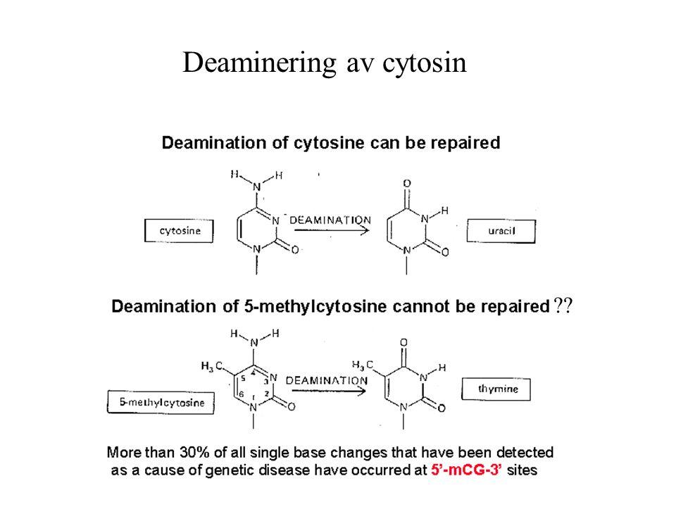 Deaminering av cytosin ??