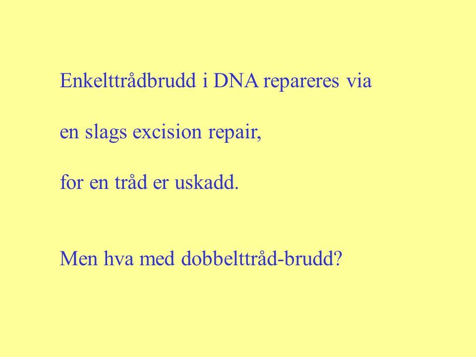 Enkelttrådbrudd i DNA repareres via en slags excision repair, for en tråd er uskadd. Men hva med dobbelttråd-brudd?