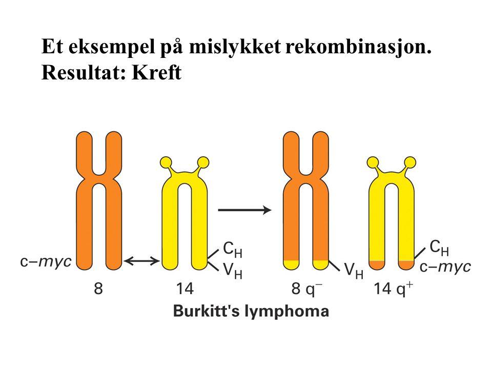 Et eksempel på mislykket rekombinasjon. Resultat: Kreft