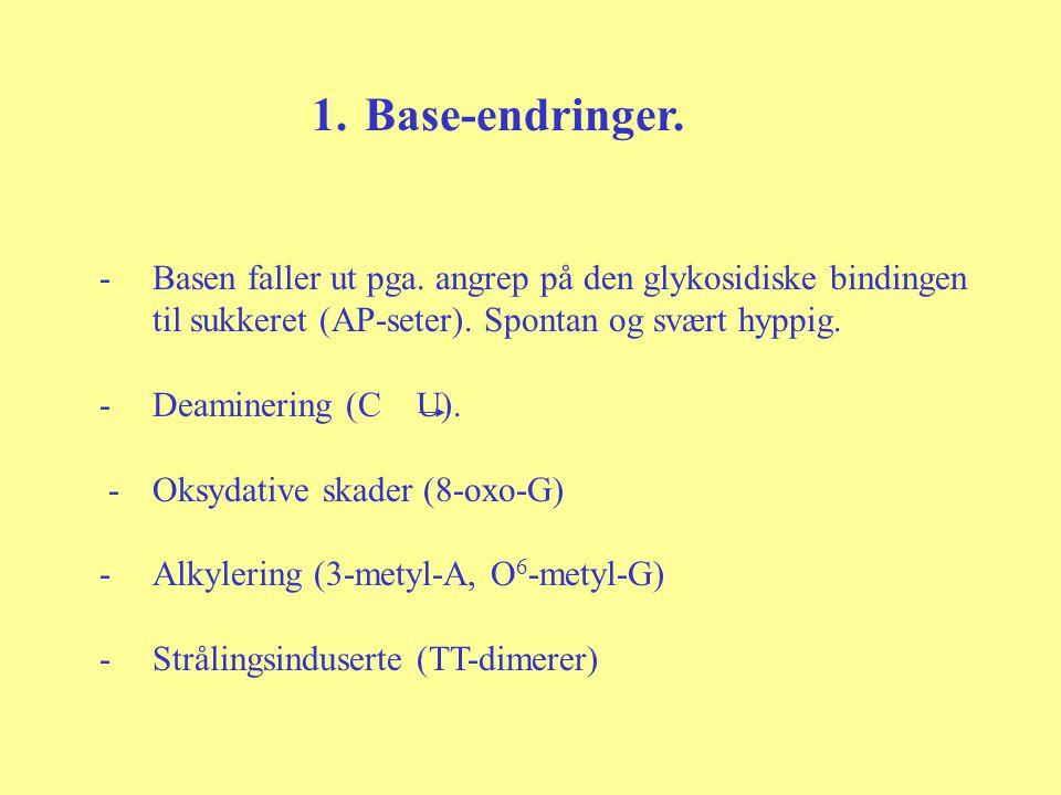 1.Base-endringer. -Basen faller ut pga. angrep på den glykosidiske bindingen til sukkeret (AP-seter). Spontan og svært hyppig. -Deaminering (C U). -Ok