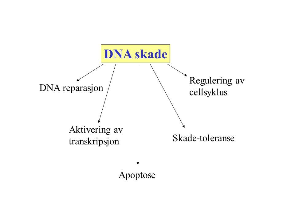 DNA skade DNA reparasjon Aktivering av transkripsjon Apoptose Skade-toleranse Regulering av cellsyklus