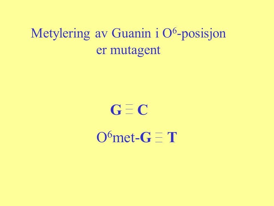 G C O 6 met-G T Metylering av Guanin i O 6 -posisjon er mutagent