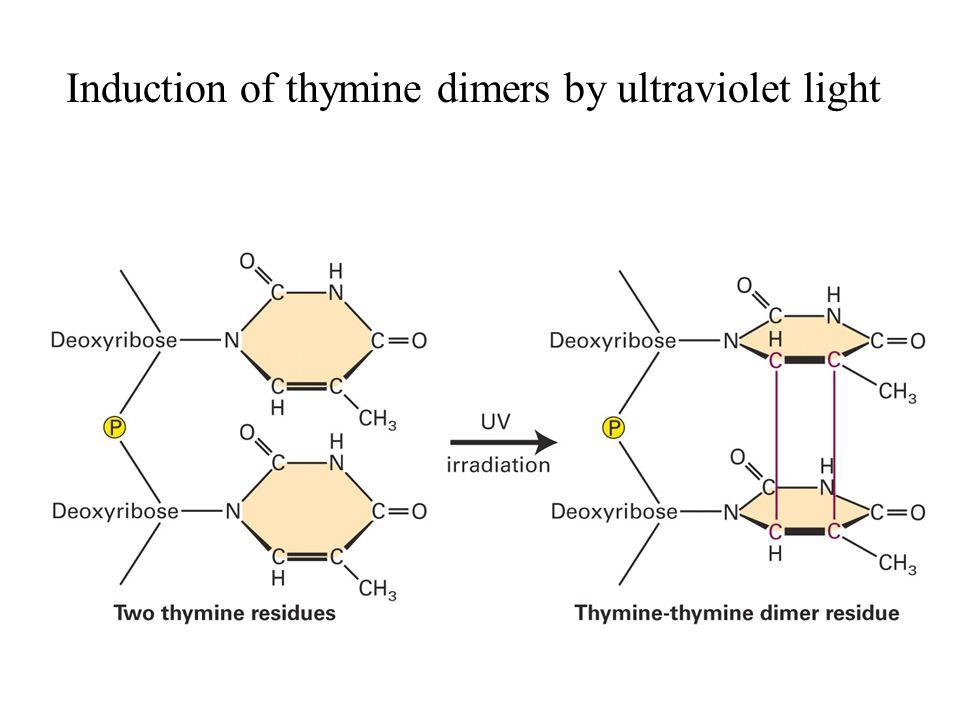 Substrater for UvrABC endonuklease i E. coli