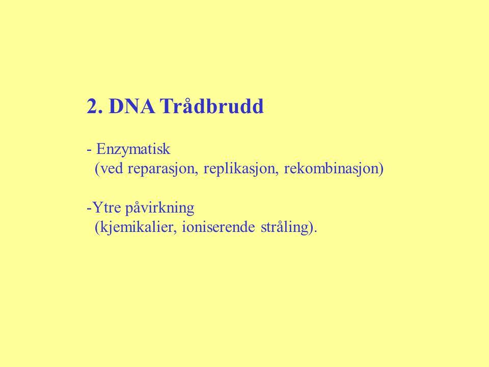 2. DNA Trådbrudd - Enzymatisk (ved reparasjon, replikasjon, rekombinasjon) -Ytre påvirkning (kjemikalier, ioniserende stråling).