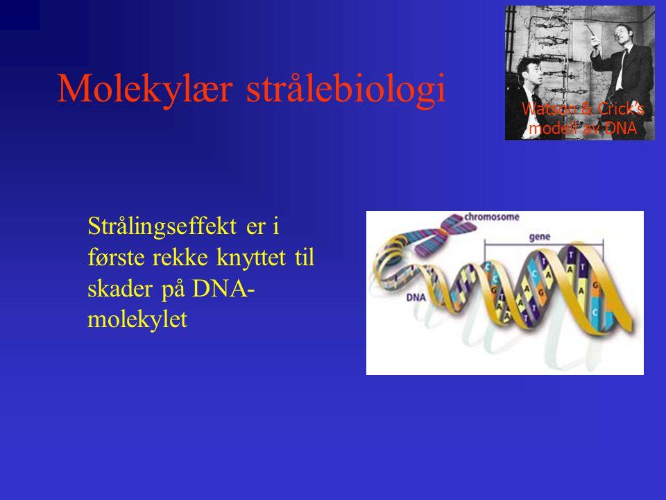 Molekylær strålebiologi Strålingseffekt er i første rekke knyttet til skader på DNA- molekylet Watson & Crick's modell av DNA