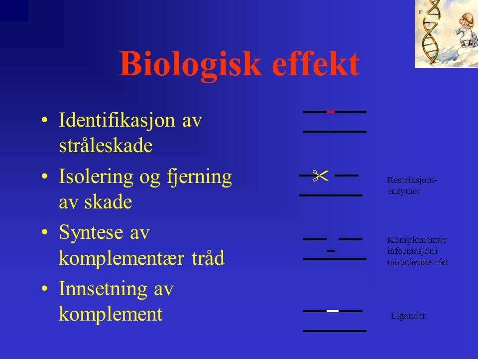 Biologisk effekt •Identifikasjon av stråleskade •Isolering og fjerning av skade •Syntese av komplementær tråd •Innsetning av komplement  Restriksjons- enzymer Ligander Komplementær informasjon i motstående tråd