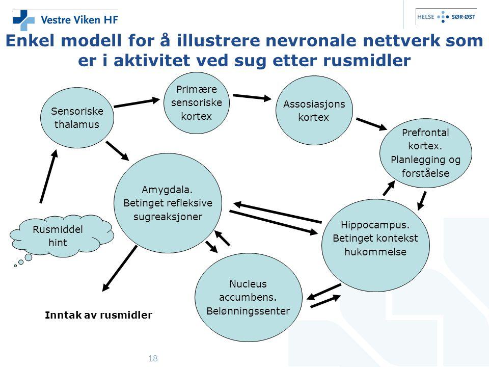 18 Enkel modell for å illustrere nevronale nettverk som er i aktivitet ved sug etter rusmidler Sensoriske thalamus Primære sensoriske kortex Assosiasjons kortex Prefrontal kortex.