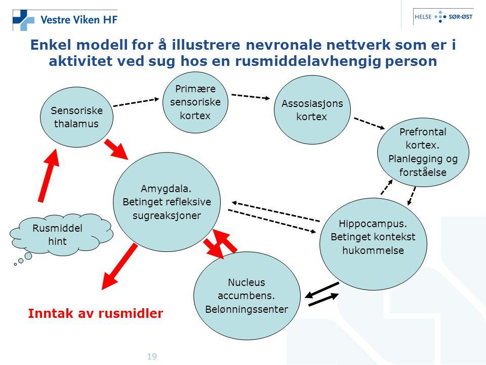 19 Enkel modell for å illustrere nevronale nettverk som er i aktivitet ved sug hos en rusmiddelavhengig person Sensoriske thalamus Primære sensoriske kortex Assosiasjons kortex Prefrontal kortex.