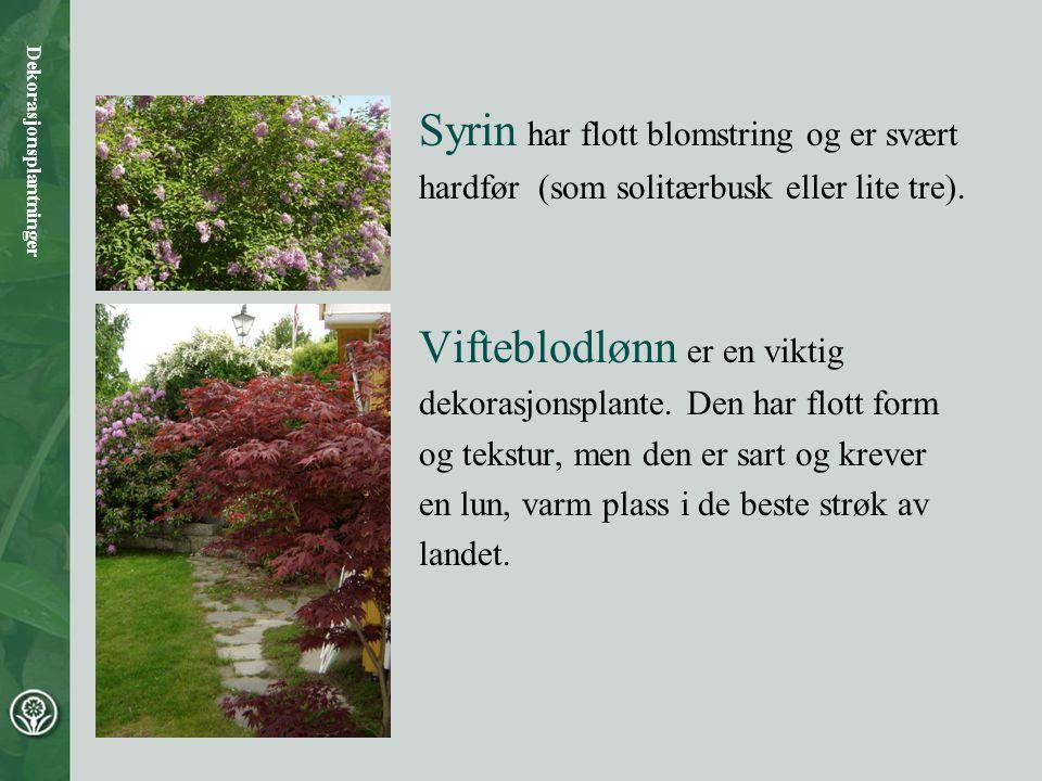 Syrin har flott blomstring og er svært hardfør (som solitærbusk eller lite tre). Vifteblodlønn er en viktig dekorasjonsplante. Den har flott form og t