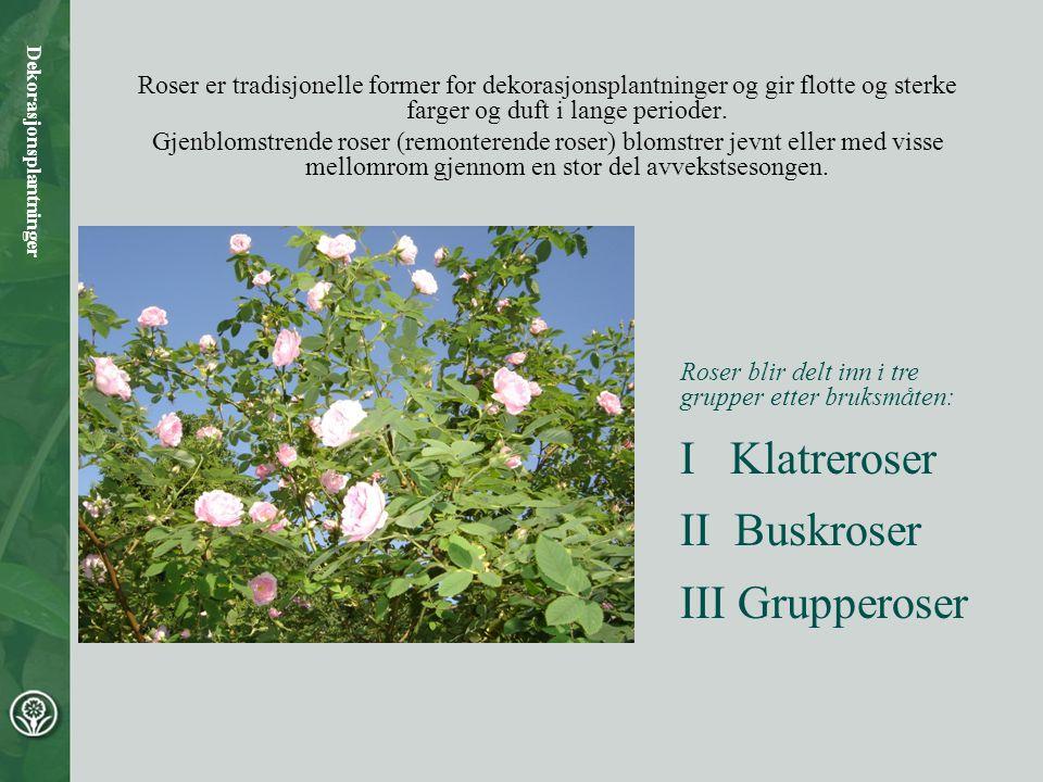 Roser er tradisjonelle former for dekorasjonsplantninger og gir flotte og sterke farger og duft i lange perioder. Gjenblomstrende roser (remonterende