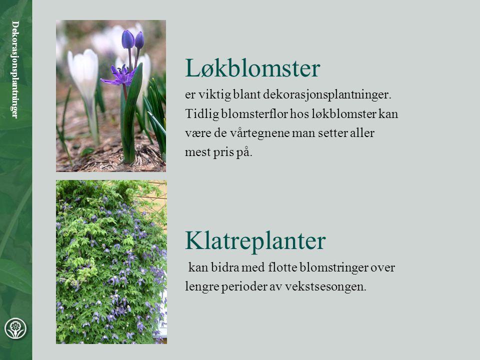 Løkblomster er viktig blant dekorasjonsplantninger. Tidlig blomsterflor hos løkblomster kan være de vårtegnene man setter aller mest pris på. Klatrepl