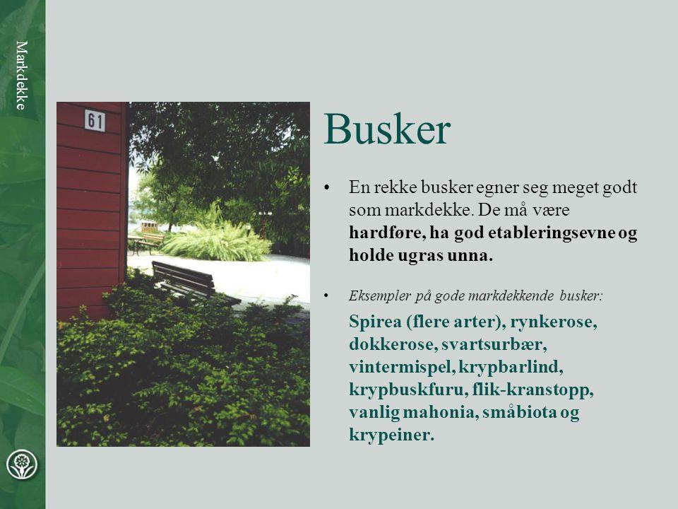 Busker •En rekke busker egner seg meget godt som markdekke.