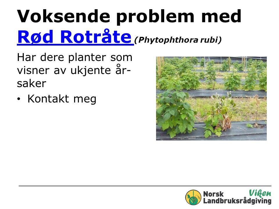 Rød rotråte Vi ser rød rotråte i felter • Med utenlandske planter • Med norske planter • I gamle felt • I unge felt • Kort sakt.