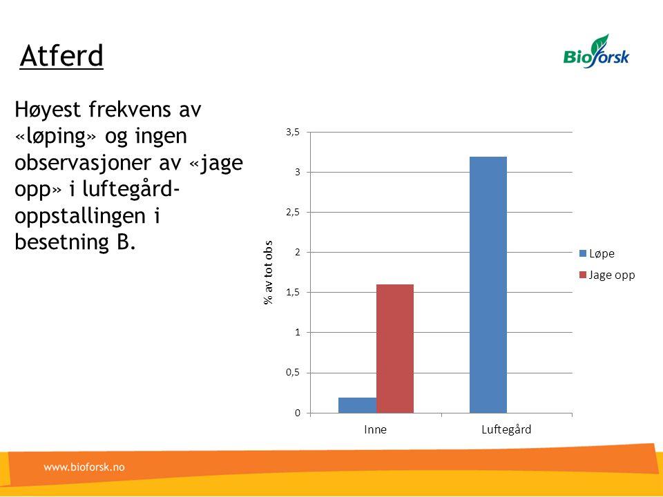 Høyest frekvens av «løping» og ingen observasjoner av «jage opp» i luftegård- oppstallingen i besetning B. Atferd