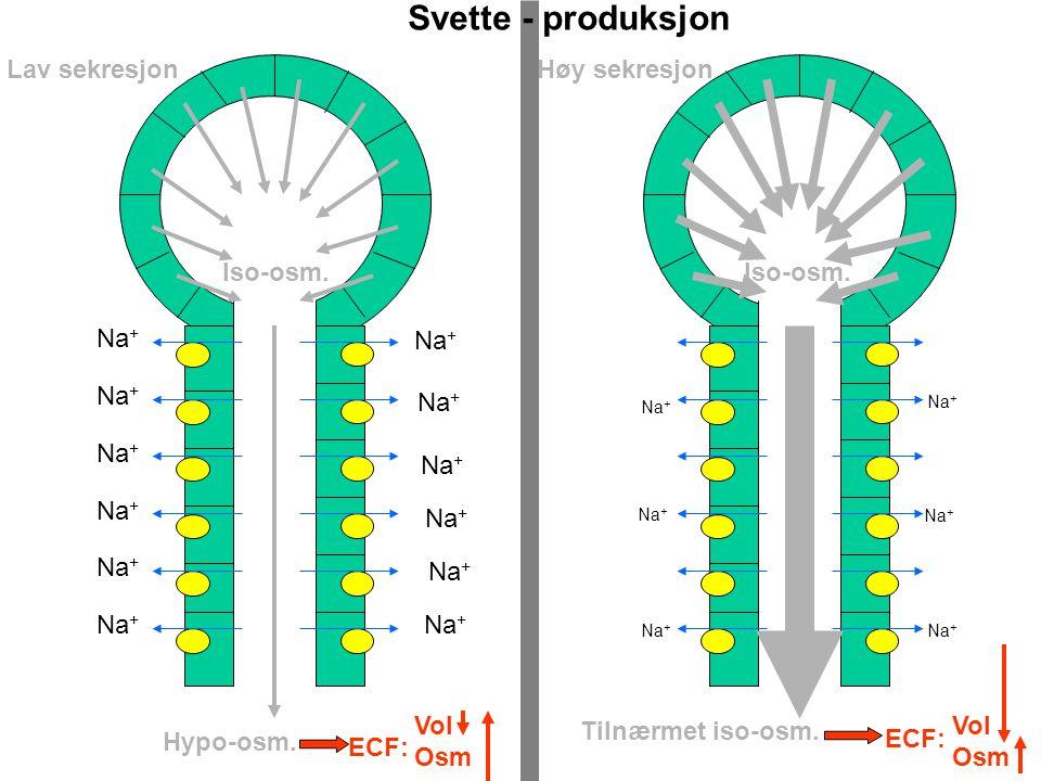Osmoregulering Volumregulering ADH-produksjon Maksimum + osm - vol Hypoton svette Minimum - osm + vol Drikke vann Konflikt - osm - vol Diaré 3L Drikke