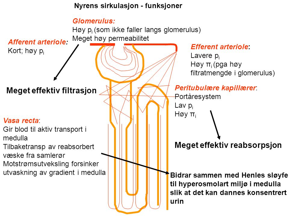 a. renalis a. interlobares a. arcuatae a. interlobulares afferente arterioler Pyramide Efferent arteriole Glomerulus Peritubulære kapillærer Vasa rect
