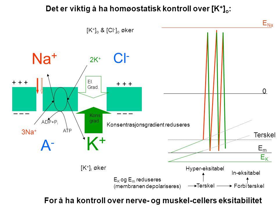 Proximal tubulus Distal tubulus Filtrat Peritubulære kapillærer K+K+ K+K+ K+K+ K+K+ Konsentrasjonsgradient Proximal reabsorpsjon ca. 90% Na + K+K+ Ele