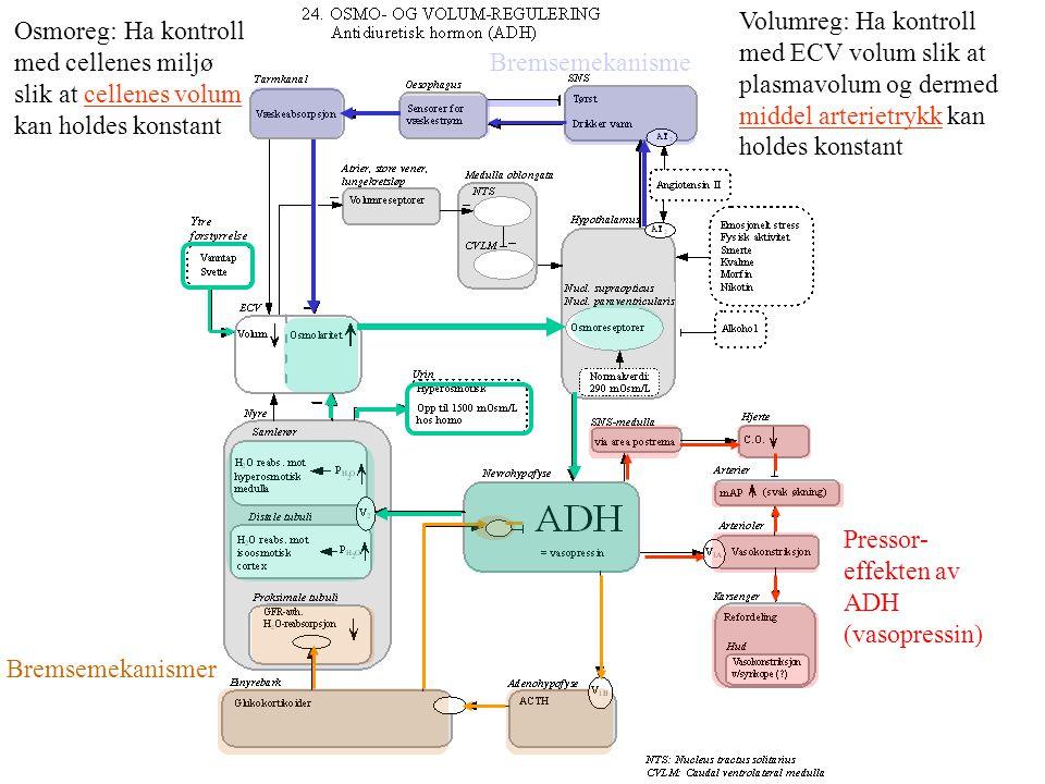 Myogen mekanisme Tubulo- glomerulær feedback Glomerulotubulær balanse