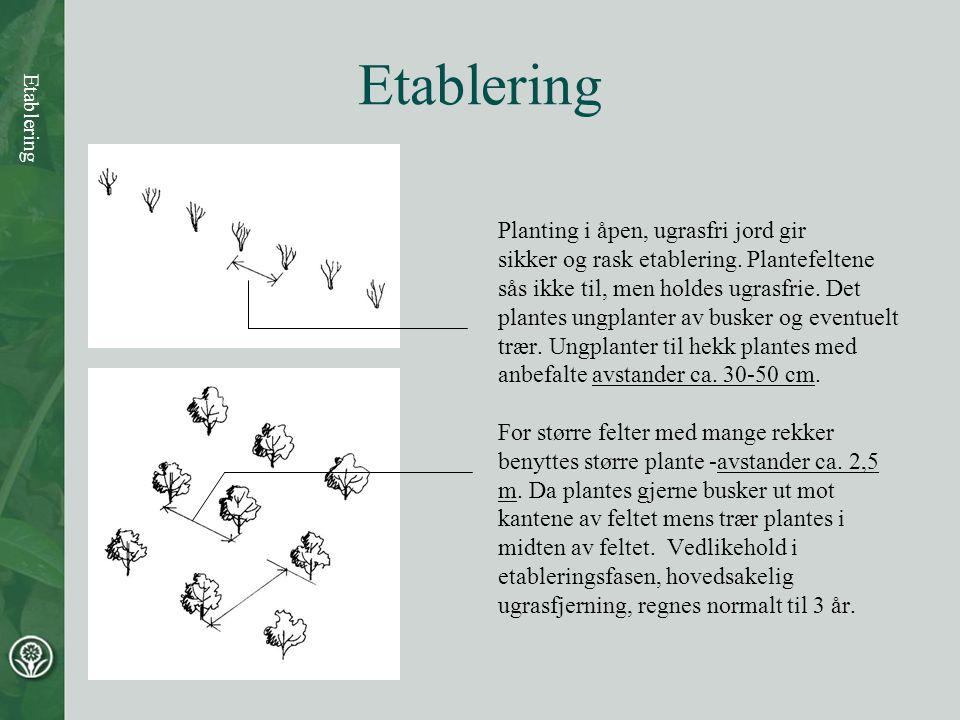 Etablering Planting i åpen, ugrasfri jord gir sikker og rask etablering. Plantefeltene sås ikke til, men holdes ugrasfrie. Det plantes ungplanter av b