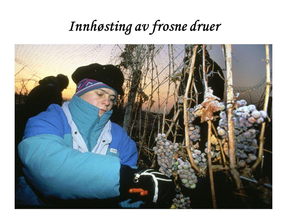 Innhøsting av frosne druer