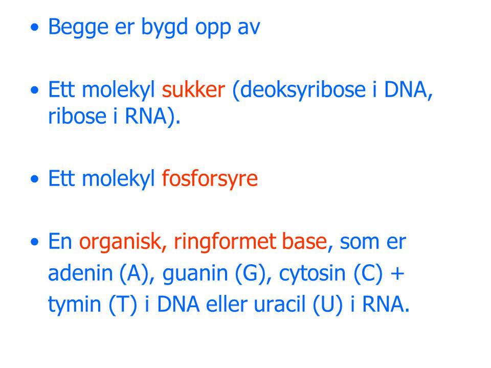 •Ett molekyl av hver av disse er bundet sammen til et nukleotid.