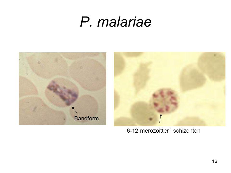 P. malariae Båndform 6-12 merozoitter i schizonten 16