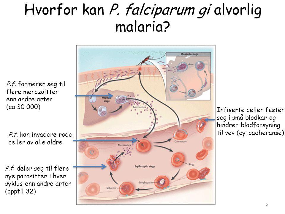 Hvorfor kan P. falciparum gi alvorlig malaria? Infiserte celler fester seg i små blodkar og hindrer blodforsyning til vev (cytoadheranse) P.f. kan inv