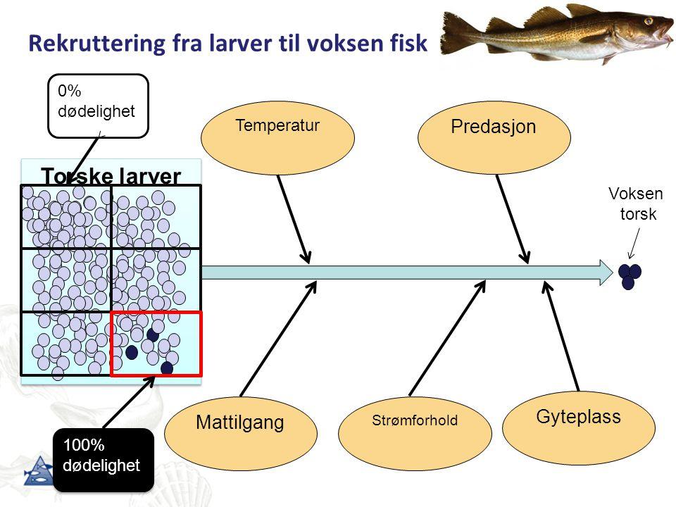 Rekruttering fra larver til voksen fisk Torske larver Strømforhold Gyteplass Temperatur Predasjon Mattilgang Voksen torsk 100% dødelighet 100% dødelig