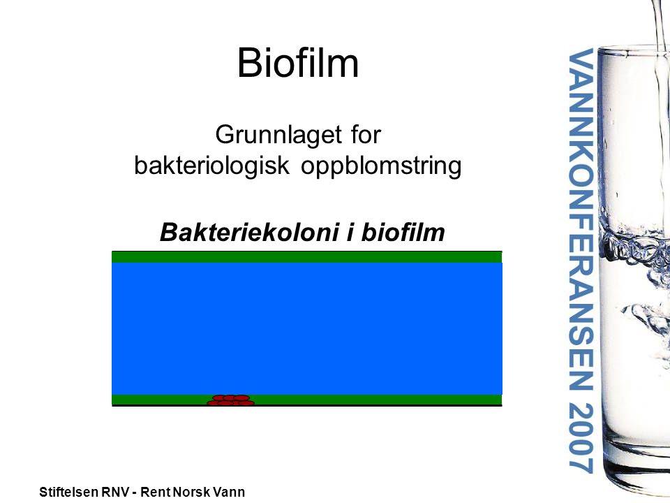 Stiftelsen RNV - Rent Norsk Vann Biofilm Grunnlaget for bakteriologisk oppblomstring Bakteriekoloni i biofilm