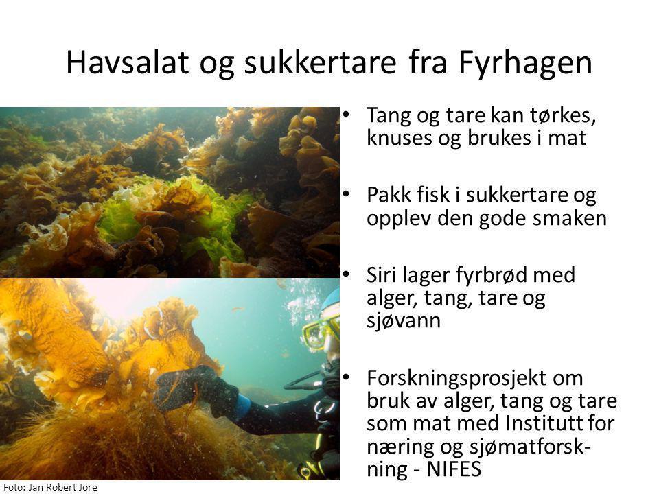 Havsalat og sukkertare fra Fyrhagen • Tang og tare kan tørkes, knuses og brukes i mat • Pakk fisk i sukkertare og opplev den gode smaken • Siri lager