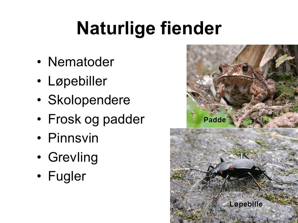 Naturlige fiender •Nematoder •Løpebiller •Skolopendere •Frosk og padder •Pinnsvin •Grevling •Fugler Løpebille Padde