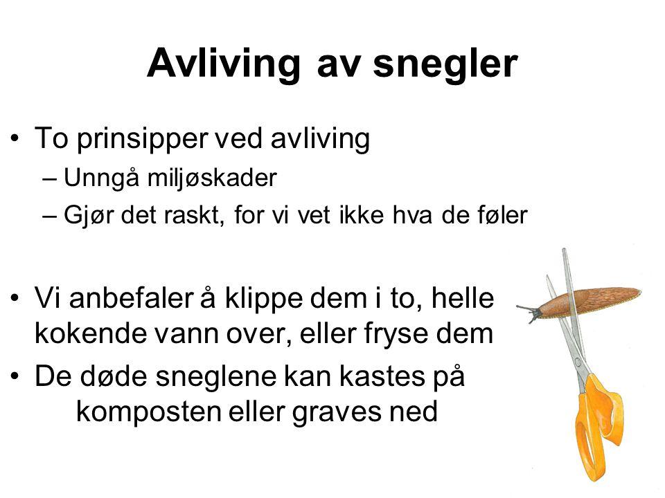 Avliving av snegler •To prinsipper ved avliving –Unngå miljøskader –Gjør det raskt, for vi vet ikke hva de føler •Vi anbefaler å klippe dem i to, hell