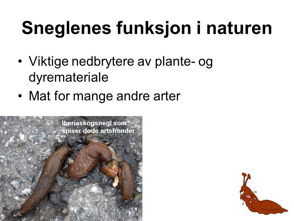 Sneglenes funksjon i naturen •Viktige nedbrytere av plante- og dyremateriale •Mat for mange andre arter Iberiaskogsnegl som spiser døde artsfrender