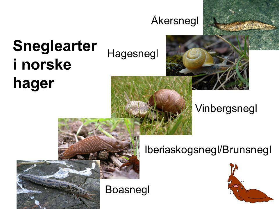 Sneglearter i norske hager Åkersnegl Boasnegl Iberiaskogsnegl/Brunsnegl Vinbergsnegl Hagesnegl