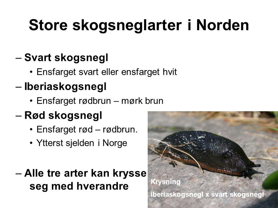 Store skogsneglarter i Norden –Svart skogsnegl •Ensfarget svart eller ensfarget hvit –Iberiaskogsnegl •Ensfarget rødbrun – mørk brun –Rød skogsnegl •Ensfarget rød – rødbrun.