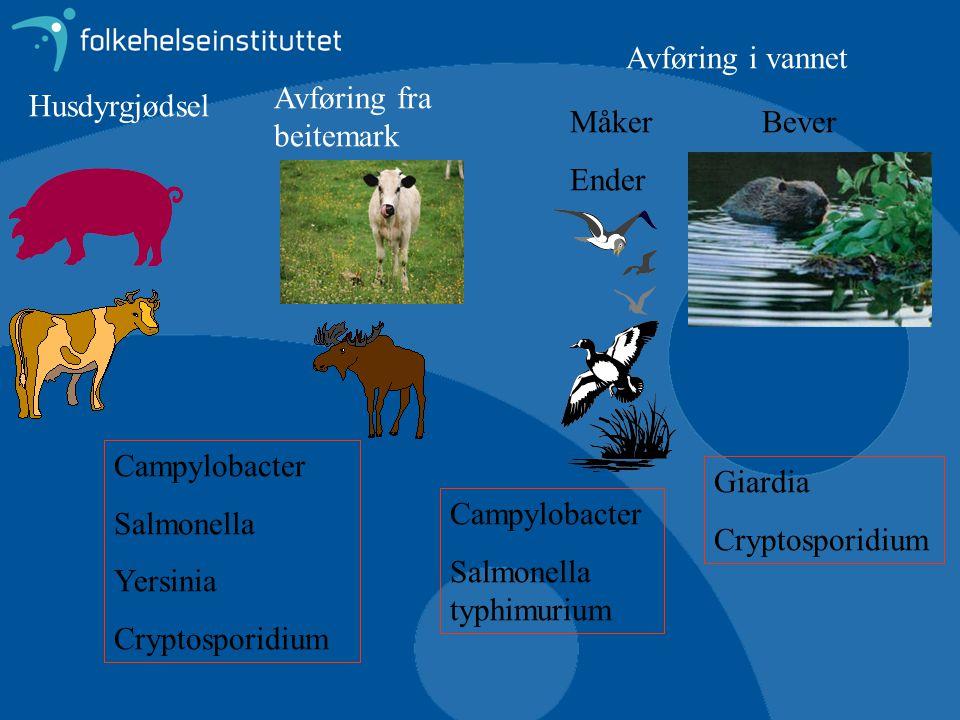 Husdyrgjødsel Avføring fra beitemark Avføring i vannet Måker Ender Bever Campylobacter Salmonella Yersinia Cryptosporidium Campylobacter Salmonella ty
