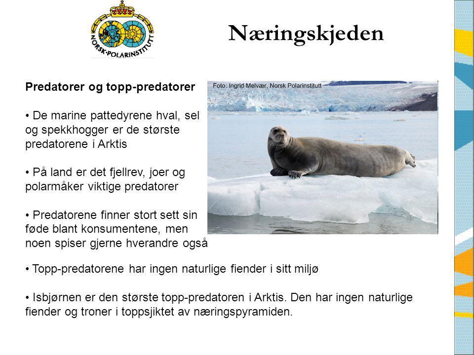 Næringskjeden • Topp-predatorene har ingen naturlige fiender i sitt miljø • Isbjørnen er den største topp-predatoren i Arktis. Den har ingen naturlige