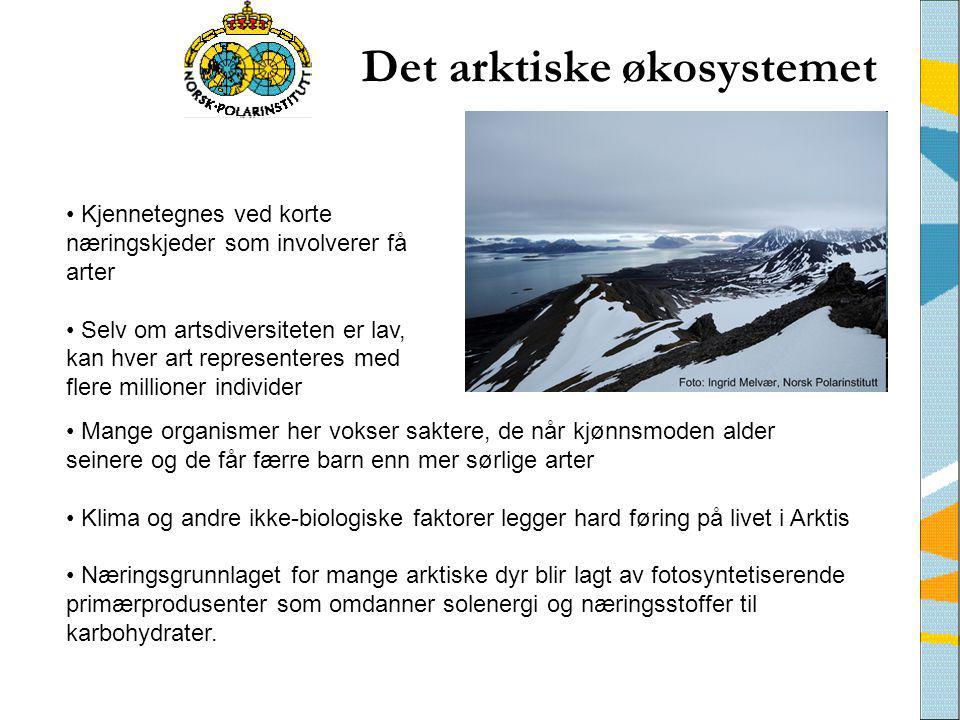 Det arktiske økosystemet • Mange organismer her vokser saktere, de når kjønnsmoden alder seinere og de får færre barn enn mer sørlige arter • Klima og