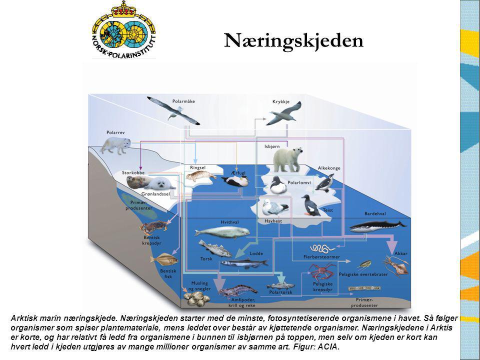 Arktisk marin næringskjede. Næringskjeden starter med de minste, fotosyntetiserende organismene i havet. Så følger organismer som spiser plantemateria