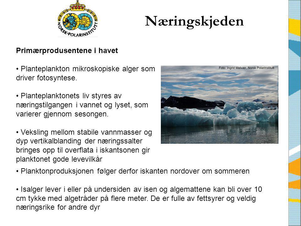 • Planktonproduksjonen følger derfor iskanten nordover om sommeren • Isalger lever i eller på undersiden av isen og algemattene kan bli over 10 cm tyk