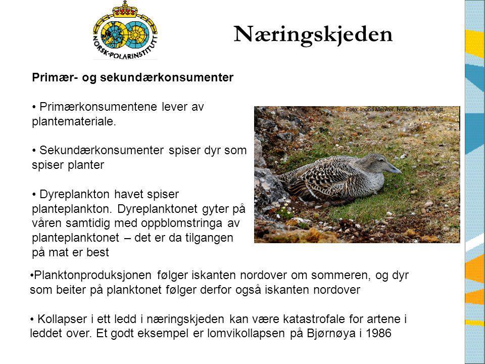 Næringskjeden •Planktonproduksjonen følger iskanten nordover om sommeren, og dyr som beiter på planktonet følger derfor også iskanten nordover • Kolla