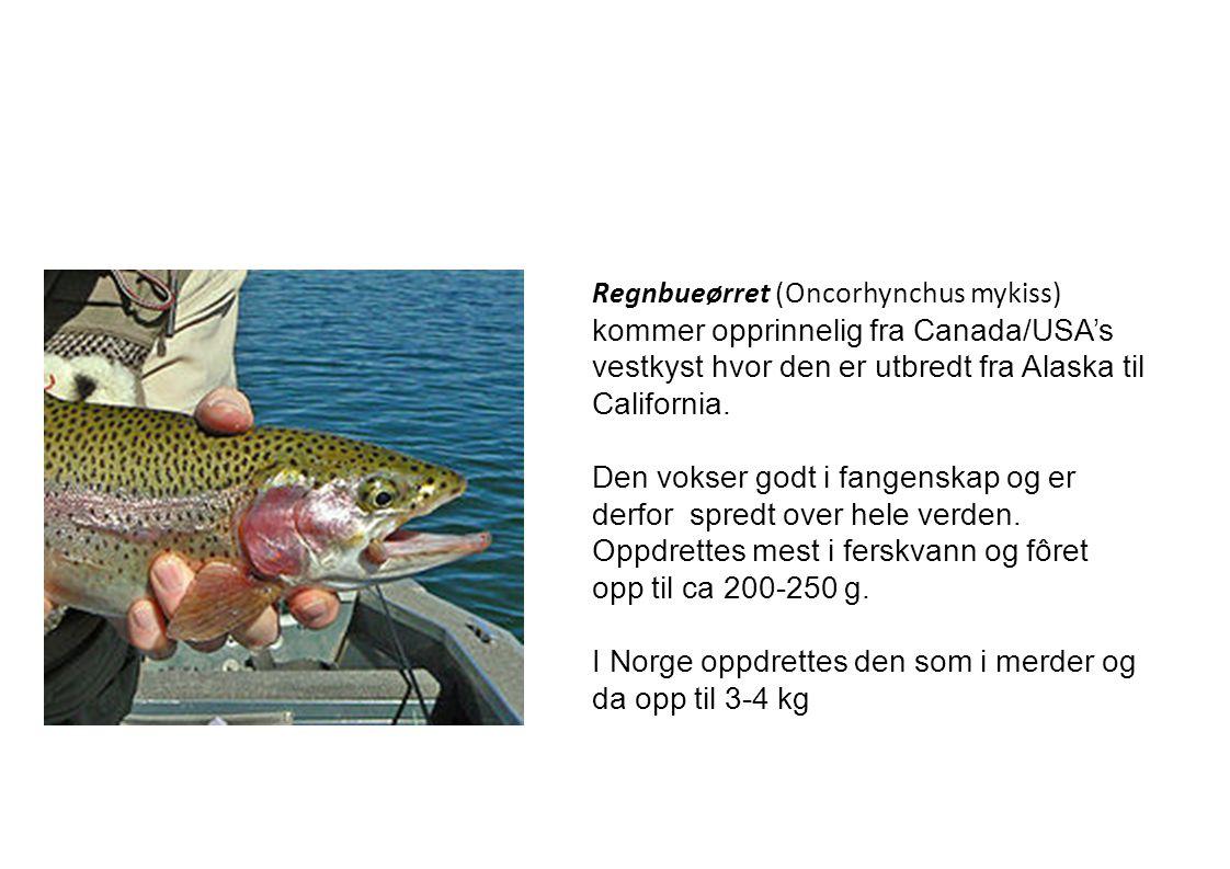 Regnbueørret (Oncorhynchus mykiss) kommer opprinnelig fra Canada/USA's vestkyst hvor den er utbredt fra Alaska til California. Den vokser godt i fange