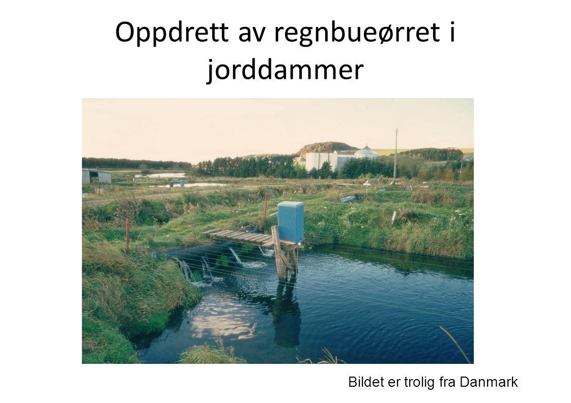 Oppdrett av regnbueørret i jorddammer Bildet er trolig fra Danmark