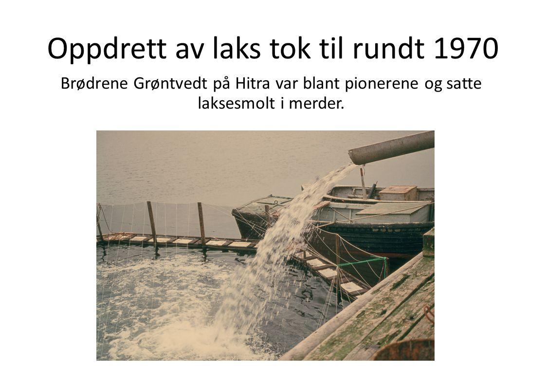Oppdrett av laks tok til rundt 1970 Brødrene Grøntvedt på Hitra var blant pionerene og satte laksesmolt i merder.