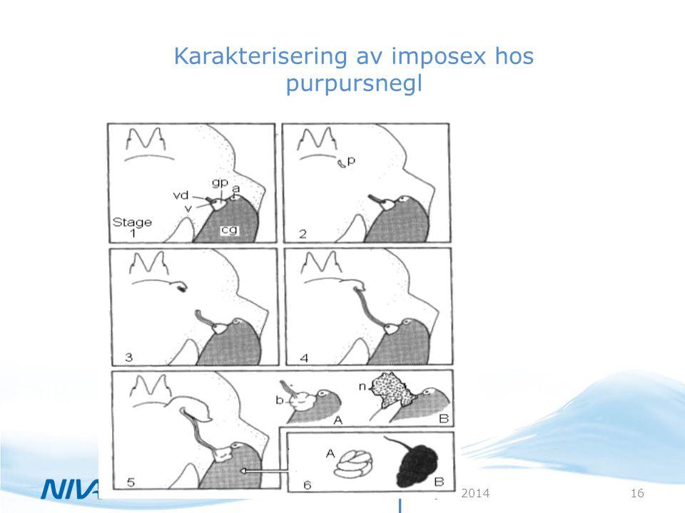 30. juni 201416 Karakterisering av imposex hos purpursnegl