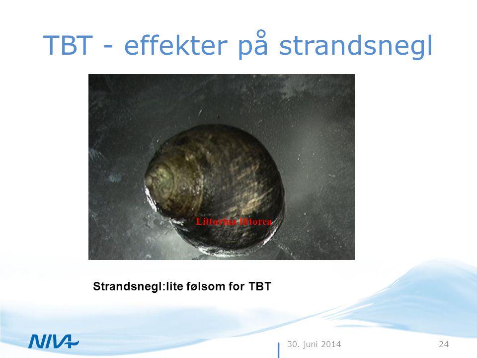 30. juni 201424 TBT - effekter på strandsnegl Strandsnegl:lite følsom for TBT Littorina littorea