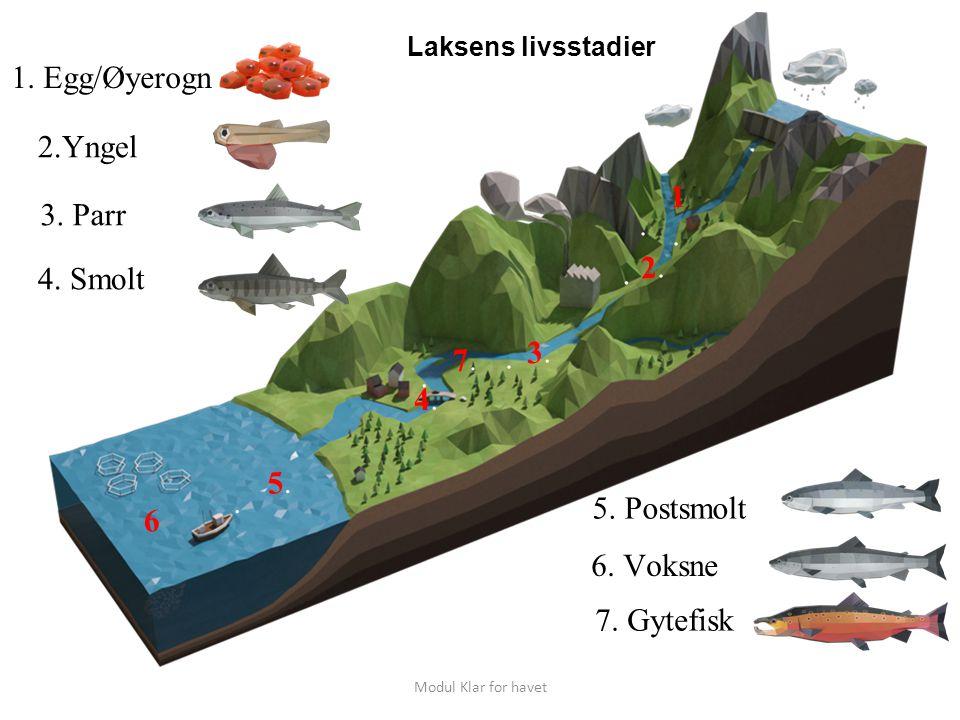 Laksens livsstadier i saltvann Sentrale begreper i oppdrettsanlegg Postsmolt Slaktefisk Fisk som går i avl: Stamfisk Kjønnsmoden hann laks Modul Klar for havet