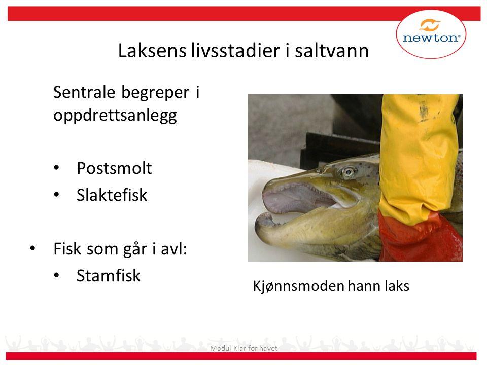 Laksens livsstadier i saltvann Sentrale begreper i oppdrettsanlegg Postsmolt Slaktefisk Fisk som går i avl: Stamfisk Kjønnsmoden hann laks Modul Klar