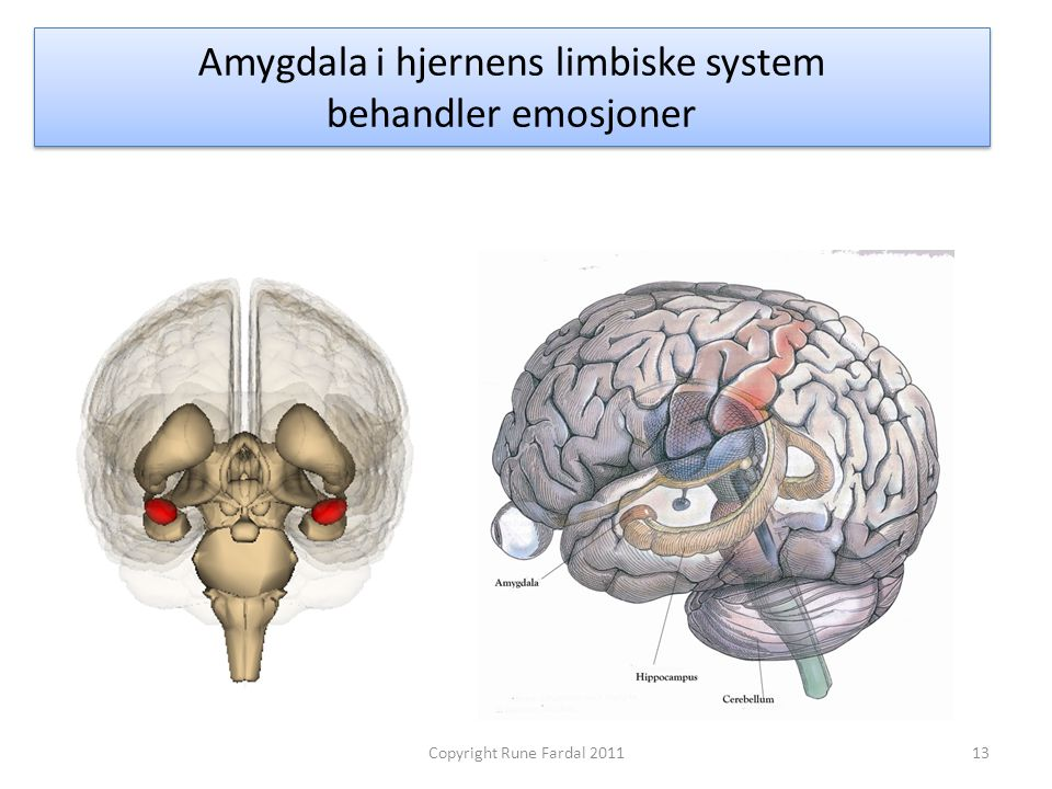 Amygdala i hjernens limbiske system behandler emosjoner 13Copyright Rune Fardal 2011