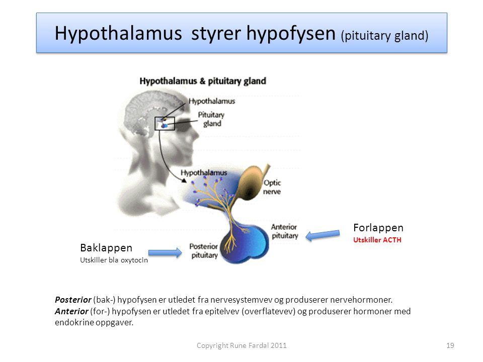 Hypothalamus styrer hypofysen (pituitary gland) Posterior (bak-) hypofysen er utledet fra nervesystemvev og produserer nervehormoner. Anterior (for-)